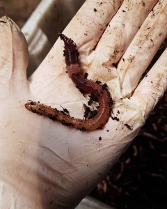 Mythos oder Wahrheit – Lebt ein Regenwurm weiter, wenn man ihn teilt?