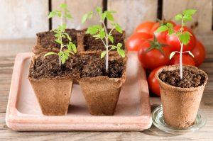 Aussäen, pikieren, auspflanzen